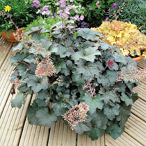 Heuchera Plants - Palace Purple