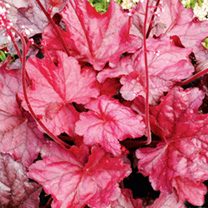 Heuchera Plants - Fire Chief