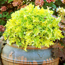 Heuchera Plants - Lime Marmalade