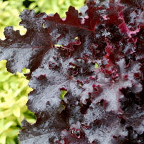Heuchera Plant - Black Beauty