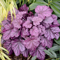 Heuchera Plant - Wild Rose