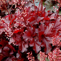 Heuchera Plants - Forever Red