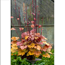 Heuchera Plants - World Caffe Americano