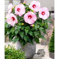 Hibiscus Extreme Plant - Hot Pink