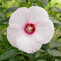 Hibiscus Extreme Plant - White Eyes