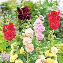 Alcea Plants - Chaters Double Mix