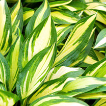 Hosta Plant - Cherry Berry