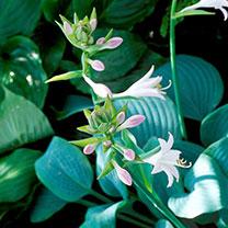 Hosta Plant - Fragrant Blue