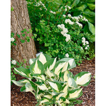 A beautifully vibrant and dramatic hosta with twisty leaves, edged in a deep green that really makes the white centre pop! An amazing contrast in colo