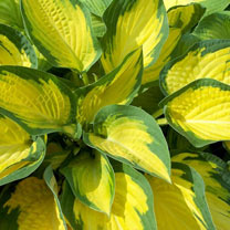 Hosta Plant - Orange Marmalade