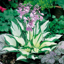 Hosta Plants - Fire and Ice
