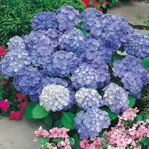Hydrangea macrophylla Blaue Donau (Blue Danube) is compact, bushy, deciduous shrub with broad, ovate, dark-green foliage and large, rounded clusters o
