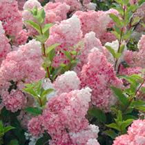 Hydrangea pan. Plant - Vanille-Fraise