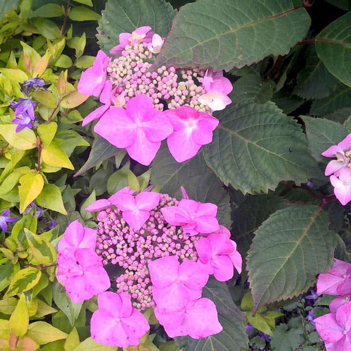 Hydrangea Plant - Endless Summer Twist \'N\' Shout - View All Trees ...