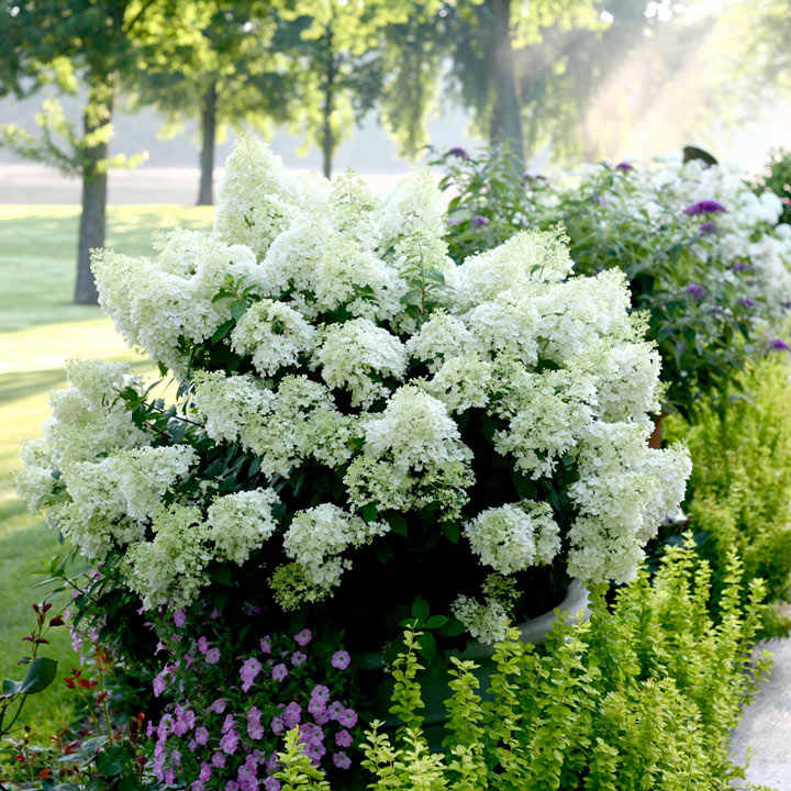 Fantastic Hydrangea paniculata Plant - Bobo® - View All Trees and Shrubs  AE47