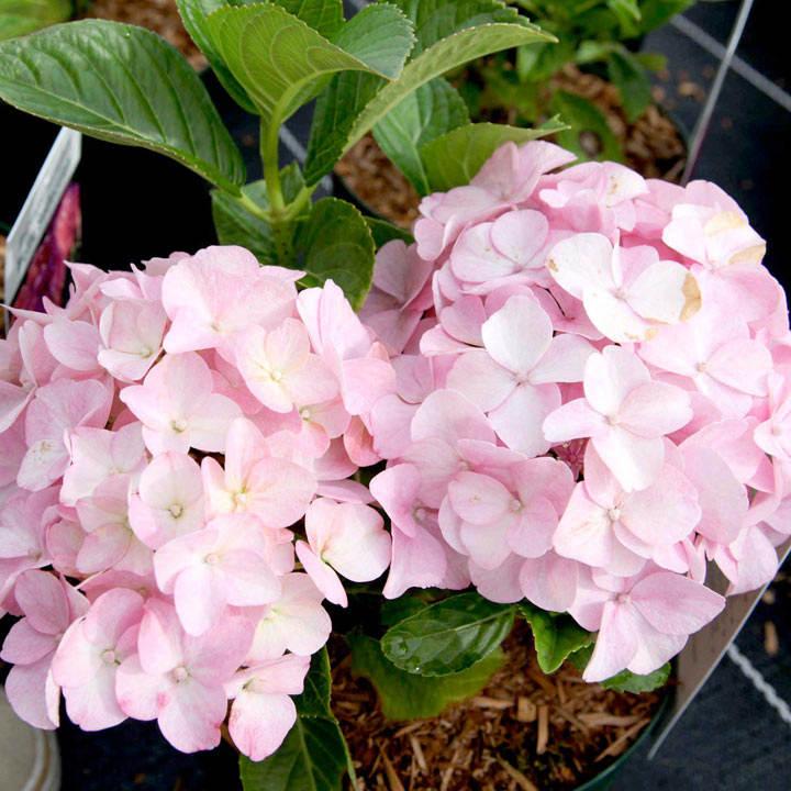 Hydrangea m. Plant - Belle Seduction®