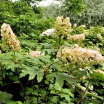 Hydrangea querc. Plant - Snow Queen
