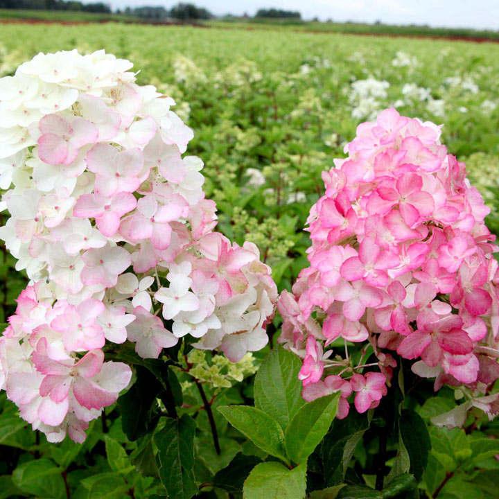 Hydrangea pan. Plant - Fraise Melba®