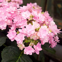 Hydrangea m. Plant - You & Me Romance®