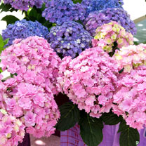 Hydrangea m. Plant - You & Me Romance