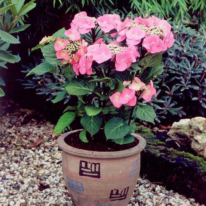 Plant in 9cm Pot Hydrangea macrophylla Zorro Lacecap Hydrangea