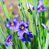 Click to view product details and reviews for Idaho Blue Eyed Grass Seeds Moody Blues.
