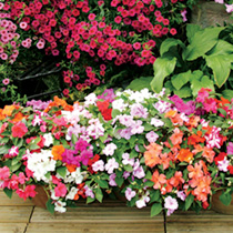 Impatiens Plants - F1 Select Improved Mix