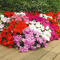 Impatiens Plants - F1 Select Impoved Mix