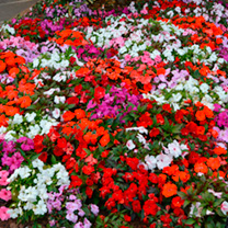 Impatiens Seeds - F1 Divine Mix