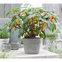 Impatiens Plant - Cockatoo
