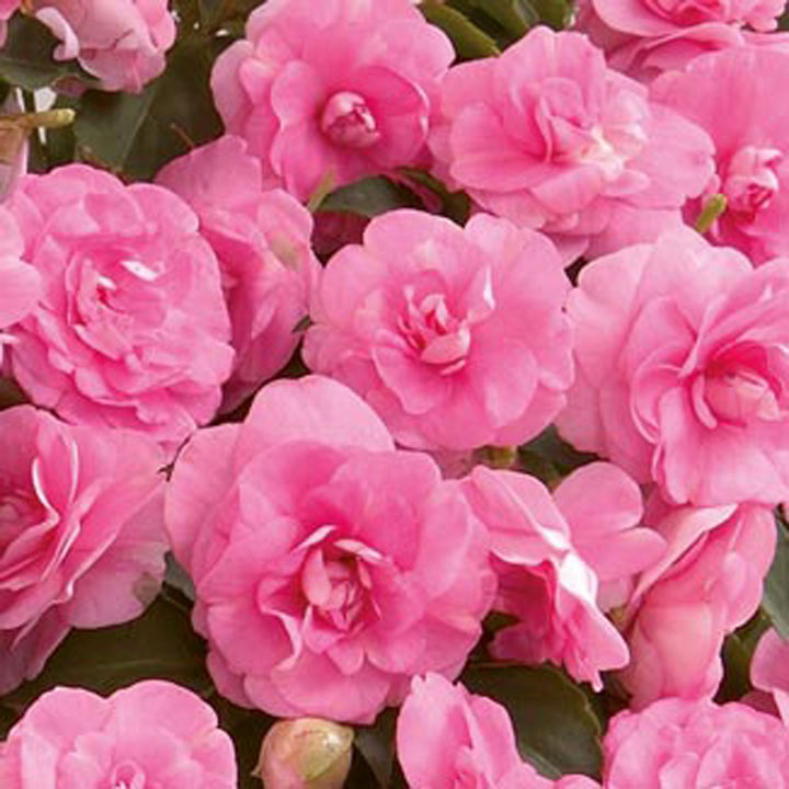 Impatiens Diadem Plants - Hot Pink