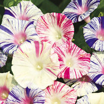 An outstanding morning glory variety, producing loads of medium-to-small white flowers, each liberally splashed with red, purple and rose. And unlike