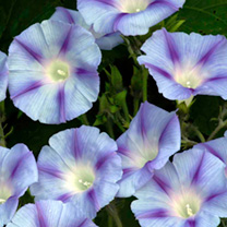 Morning Glory Seeds - Dacapo Light Blue