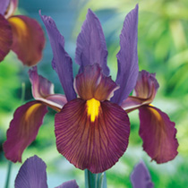 A striking combination of intense purple-violet standards and bronze-red falls with a distinctive yellow blotch. Flowers June-July. Height 55cm. Bulb