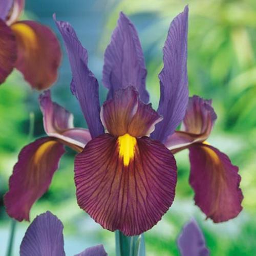 Iris hollandica Bulbs - Tigers Eye