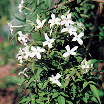 Jasminum officinale Plant