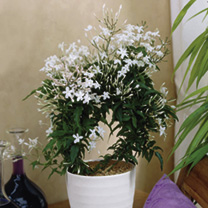 Jasmine Polyanthum Plant
