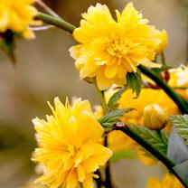 Kerria japonica Plant - Plenifora