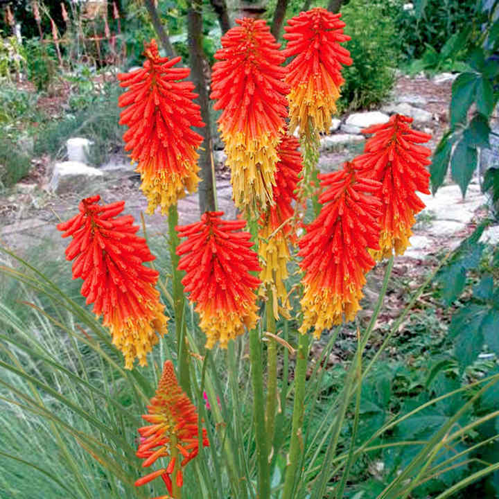 Kniphofia Plant - Papaya Popsicle