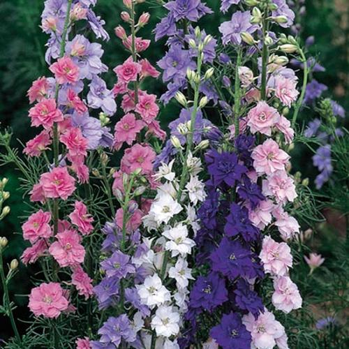 Larkspur Seeds - Little Rocket Mix