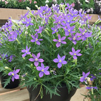 Laurentia Plants - Megastar Blue