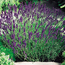 Click to view product details and reviews for Lavender Seeds Hidcote Blue.