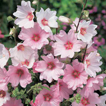 View All Flowering Shrubs Flowering Shrubs Trees Shrubs Hedging