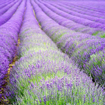 A compact variety of the popular English lavender. Hang bunches of flowers to dry and use it in pot-pourri indoors. RHS Award of Garden Merit winner.