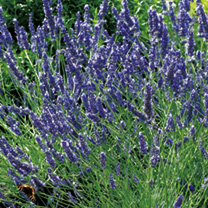 Click to view product details and reviews for Lavender Seeds Provence Blue.