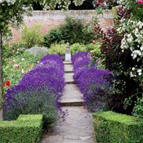 Lavender Plants - Hidcote