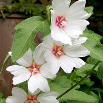 Lavatera Plants - Baby Barnsley