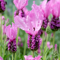 Lavandula Plant - Fairy Wings Pink