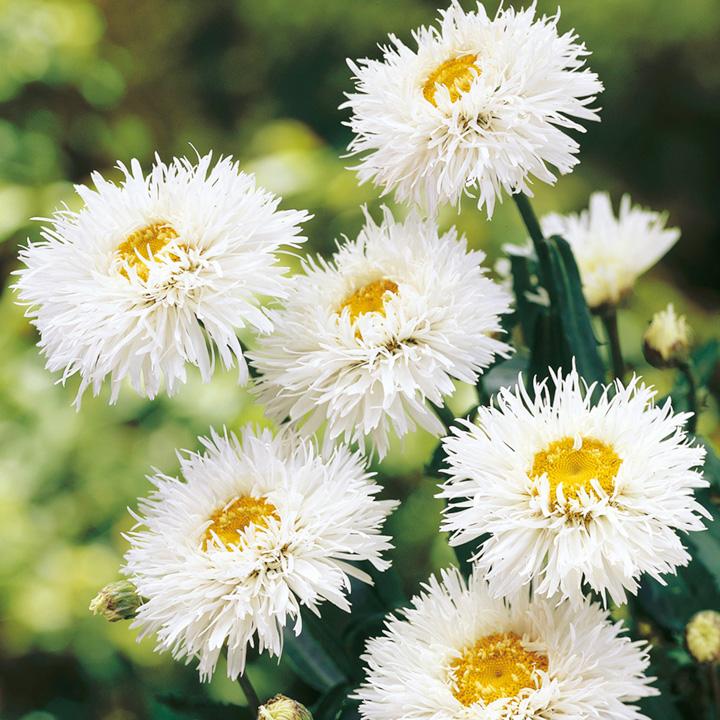 Leucanthemum Crazy Daisy (3) P9