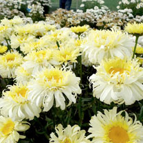 Leucanthemum Plants - Real Charmer